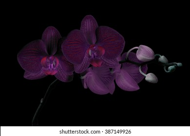 Purple orchid branch with buds, black background, effect