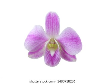 Purple orchid (Dendrobium) Isolated on white background.