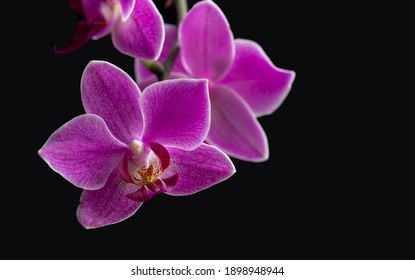 Purple orchid flower close-up, on a black isolated background. Greeting card, copy space.