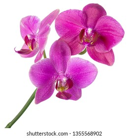 Purple Orchid flower on stem isolated on white background, design for SPA or tropical natural concept