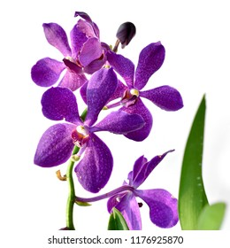 purple orchid flowers . beautiful red vanda orchid flowers, isolated on white background shallow dept of field.