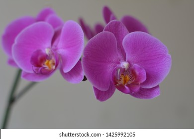 purple orchid flowers house plant on a white background