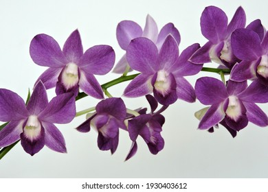 Purple orchid flowers, white background