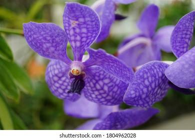 Purple Orchid in a garden