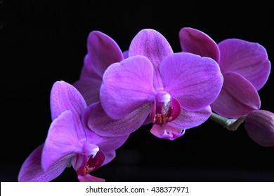 Purple Orchid group open at peak flowering with plain black background,interior horizontal photo.