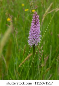 A purple orchid growing in a summer meadow in Herefordshire, UK