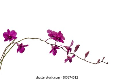 Purple orchid isolated on white