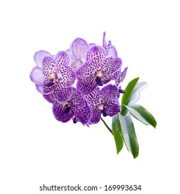 Purple orchid with neutral background. Whole plant with large flower clusters and leaves.