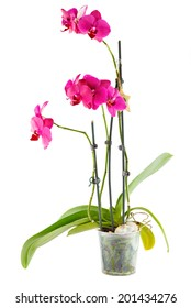 Purple orchid. Pot flower in transparent flowerpot isolated on white background