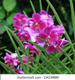 Purple orchid, Singapore National Orchid Garden