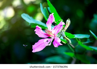 Purple orchid Tree, bauhinia purpurea, purple Bauhinia or hong kong orchid tree, pink beautiful Chongkho flower blooming in the garden at the morning with sunlight, selective focus