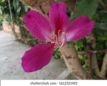 Purple Orchid Tree, Hong Kong Orchid Tree, Purple Bauhinia.