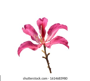Purple Orchid Tree, Hong Kong Orchid Tree, Purple Bauhinia, Close up bouquet of purple bauhinnia flowers isolated on white background. with clipping path