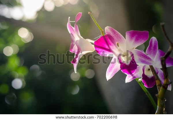 purple orchids in fresh garden , orchids flowers and sunlight background