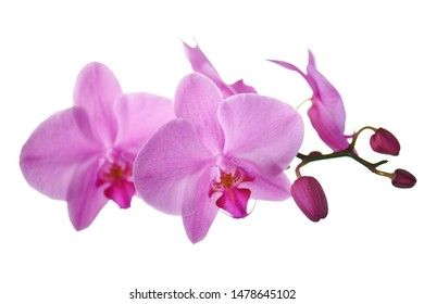 Purple orchids isolated on white background. Closeup.