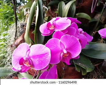 Purple orchids in Singapore Zoo, completely blooming flowers