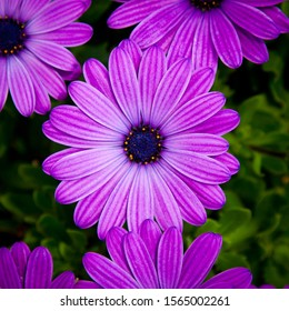 Purple Osteospermum flower on green floral background. also known as African daisy, South African daisy, Cape daisy and blue-eyed daisy.