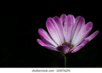 Purple Osteospermum flower shot taken from singapore in the flower dome.