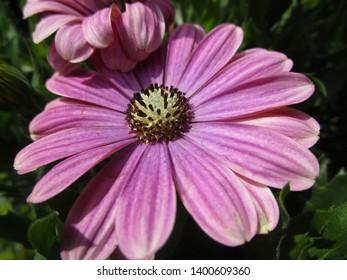 Purple Osteospernum flower close up 2019