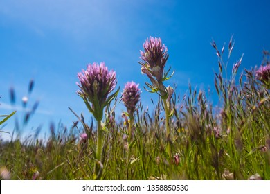 Purple Owl's-Clover at Carrizo Plain National Monument
