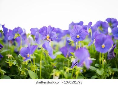 Purple Pansies in Garden