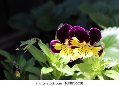 Purple Pansies Stretching towards the Sun