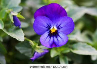 Purple pansy flower isolated