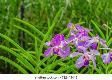 Purple Papilionanda Ernest Chew, Hybrid orchid which is cross between Papilionanda Mandai Poppet and Vanda coerulea
