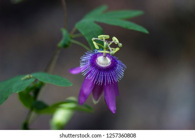 purple pasiflora flover