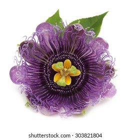 The purple passionflower isolated on white background
