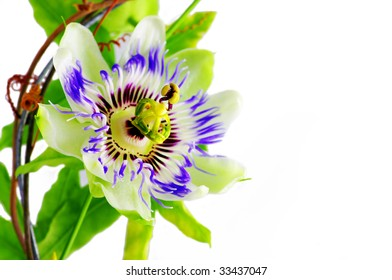 Purple Passionflower on a white background.