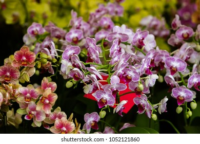 Purple and peach blooming orchids with Chinese red envelope. Traditional Asian celebration gifts and presents. Close up image with contrast blurred background.