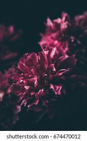 Purple Peonies on a black background