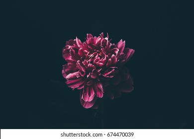 Purple peony on a black background