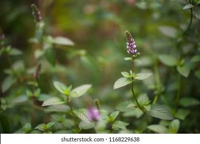 Purple peppermint flowers