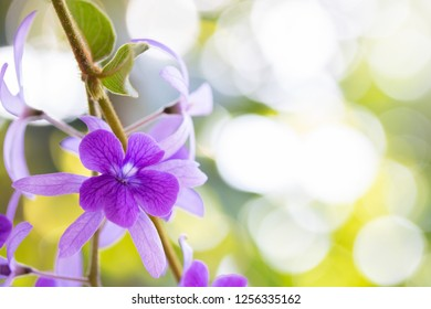 Purple Petrea volubilis L   flower and blur light background
