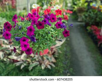 Purple Petunia Flower Hanging in The Garden