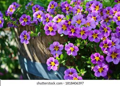 Purple petunia flowers in a barrel pot
