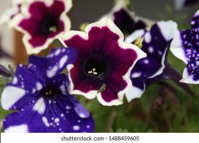 Purple Petunia flowers close up