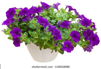 Purple Petunia isolated on white background in white pot