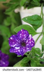 purple petunia like night sky