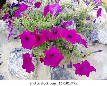 La petunia púrpura que está en la roca.