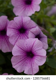 Purple Petunia,Petunia in the garden,Petunia in a pot,in Spring time,Close Up of Petunia flower.