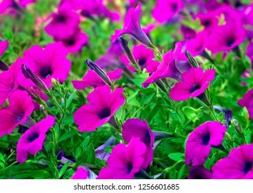 Purple petunias bloom