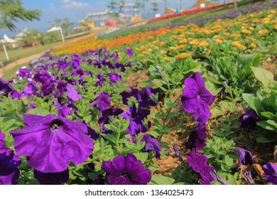 Purple petunias. Flower Bed with purple petunias, Colourful purple-red petunia flower close up, Petunia flowers bloom, petunia blossom, Petunia flowers in garden