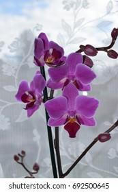 Purple Phaelanopsis Orchid bloom close up