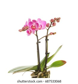 Purple Phalaenopsis, moth orchid, flowers and foliage isolated against white