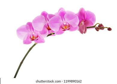 Purple Phalaenopsis orchid flowers isolated on white background. Closeup.