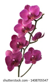Purple phalaenopsis orchids isolated on white background