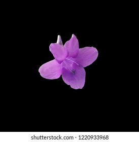 Purple Philippine Violet on dramatic black background